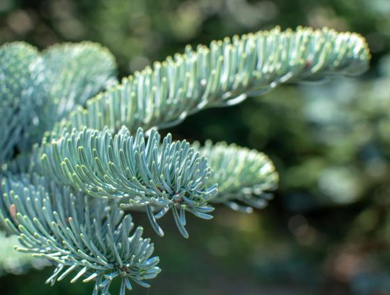 Gratis levering kerstbomen voor senioren